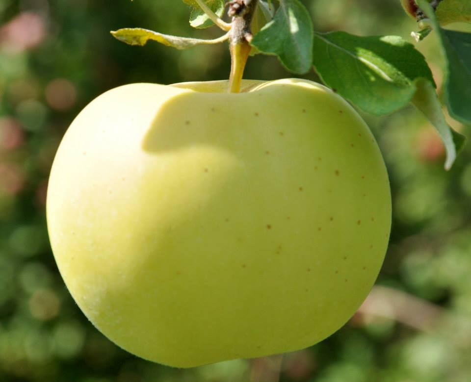 Best places to go apple picking near boston